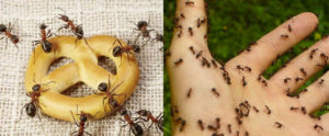 Ants Control (Pest Control Services Brisbane)