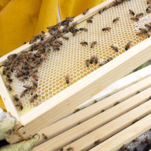 Bees Pest Control Brisbane