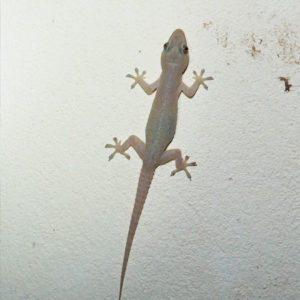 Lizard Pest Control Brisbane