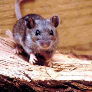 Rat Pest Control Brisbane