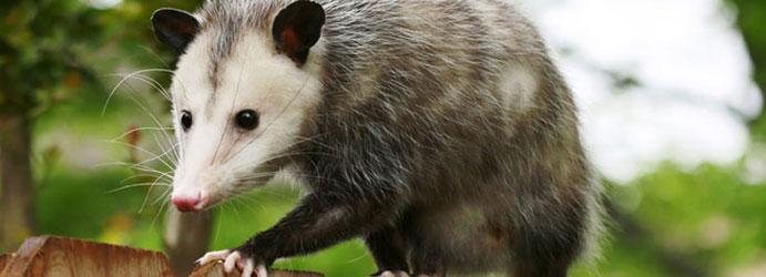 Possum Removal Pest Control