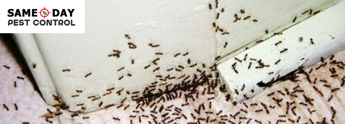 How To Stop Ant Infestation In The Kitchen Same Day Pest Control